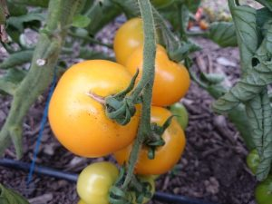 golden-tomatoes-camelcsa-0816