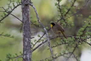 Cpommon yellowthroat -- 2018 Carden Challenge
