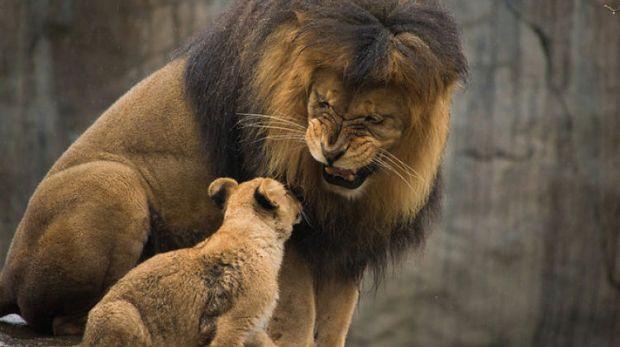 cuccioli-leone-padre-zoo