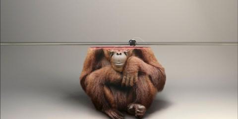 ifaw_monkey_cotw