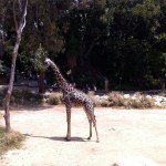 Giraffe at the LA Zoo