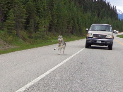 Bartlett kept shooting photos as the wolf followed him down the highway. Photo: Tim Bartlett