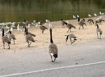 Canadian Geese Ontario