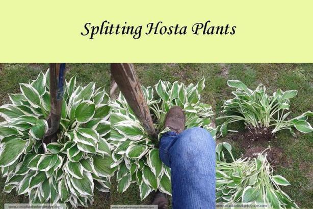 Splitting_hostas_step_By_step