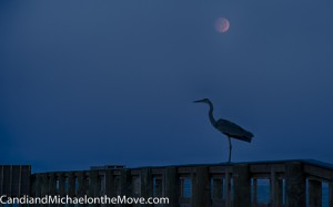 A Heron lands on the dock to my delight.