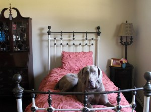 """It's safe to say when Fred is happy, we're all happy! He is loving our new bedroom (I think a little too much!). Thank you to Valspar Reserve paint for giving """"us"""" the opportunity to review your Churchill Hotel Ecru Reserve paint!"""