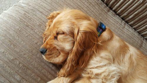Medium Of Do Dogs Have Nightmares