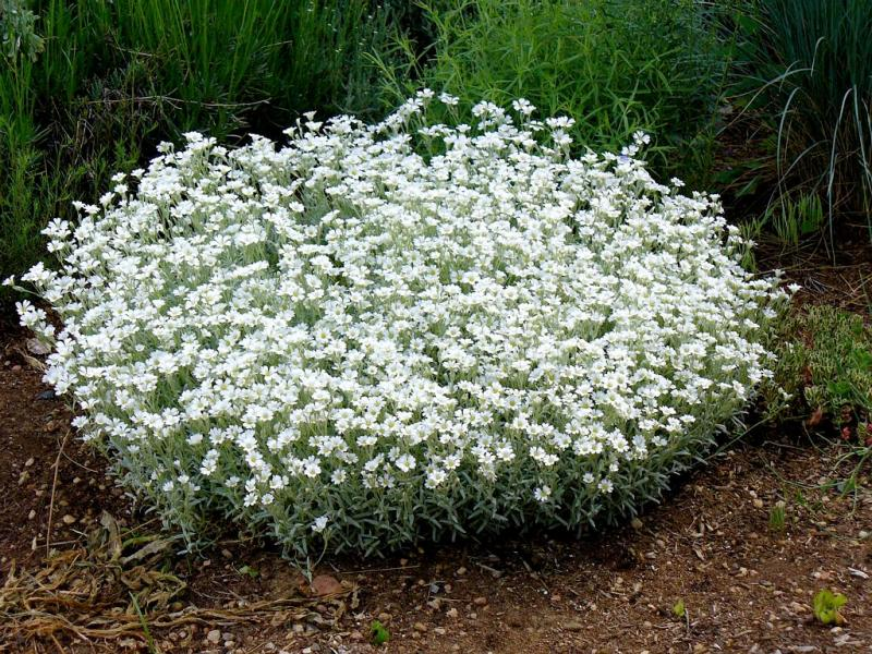 Large Of Snow In Summer Plant