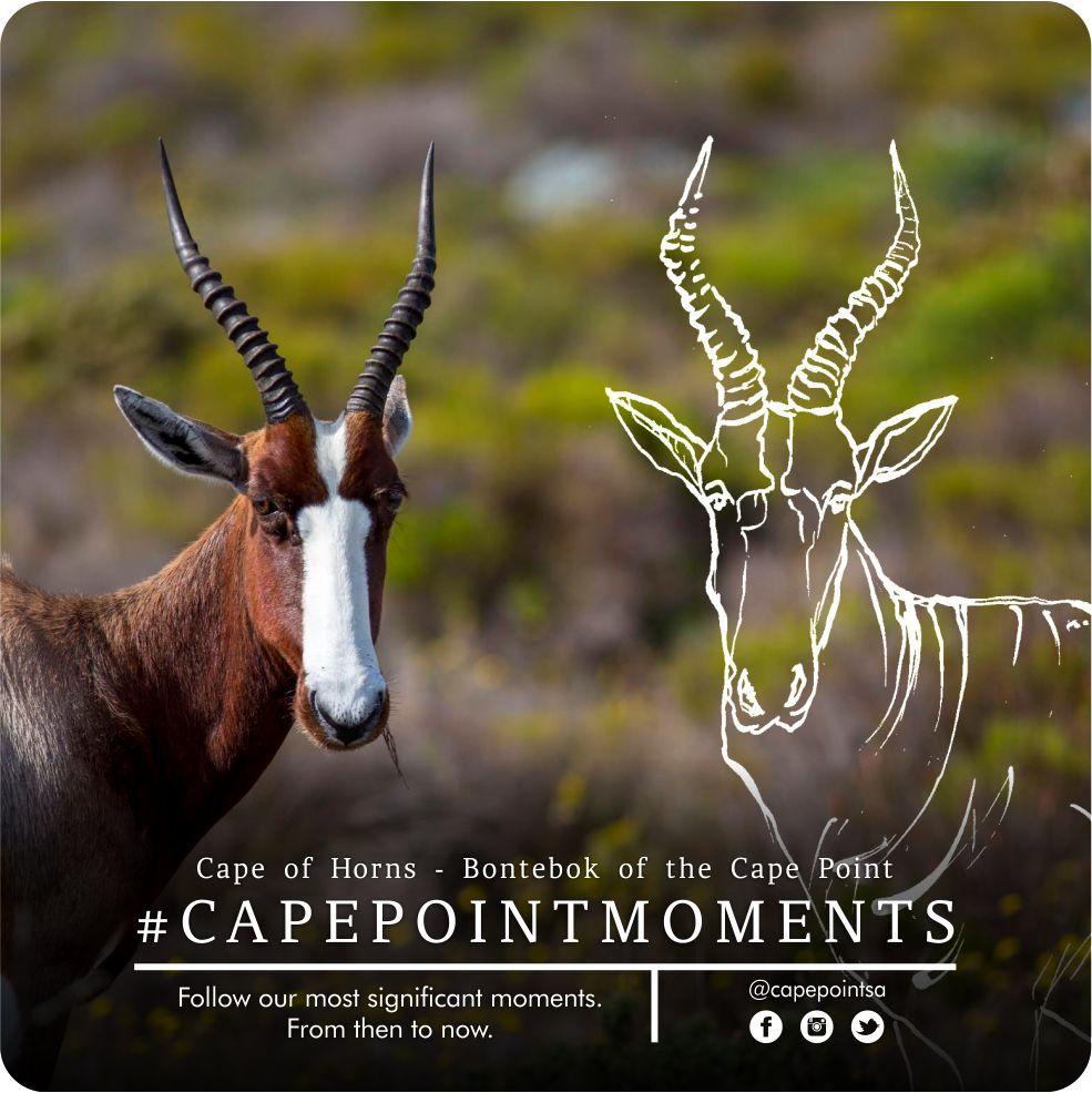 Cape of Horns: Bontebok of Cape Point