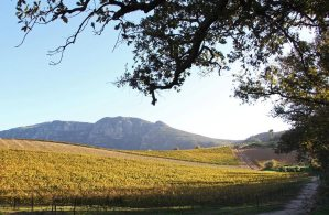 Groot-Constantia-Vineyard