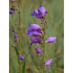Small Crop Of Rocky Mountain Penstemon