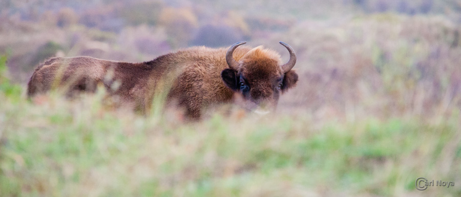 November 2013: Wisent @ Kennemerduinen