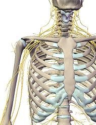 plexo braquial neurodinamica en la practica clinica osteon Alaquàs Valencia