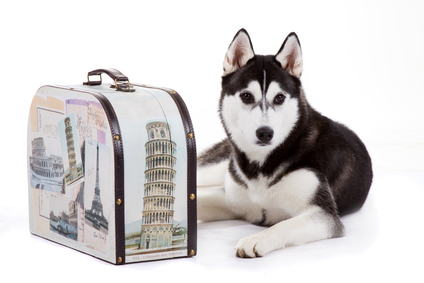 husky with suitcase
