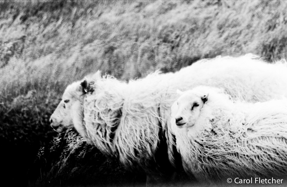 Iceland wind and sheep