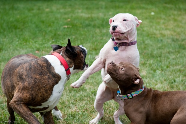 Atticus is simply not in the mood to play with the girls.  All 3 are rescued dogs & adjusting to normal lives.