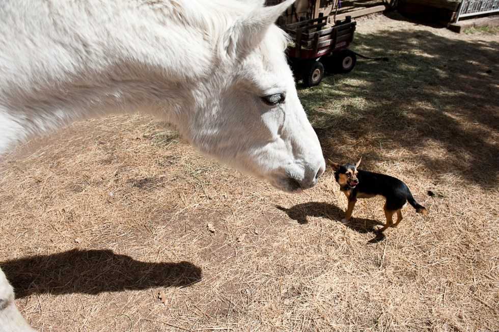 White horse and chihuahua