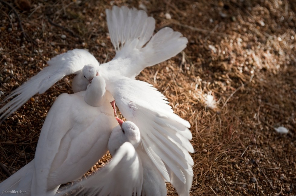 white doves peace birds