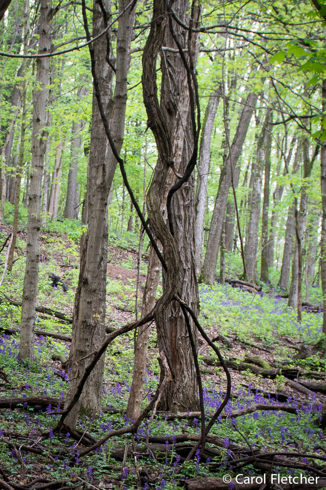 Vine entwines tree Radnor Lake Nashville
