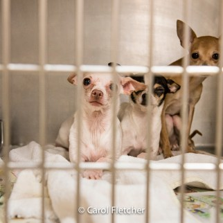 chihuahuas shelter scared defensive cage rescued dog