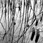 beaver stumps