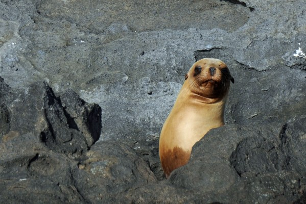 An observant sea lion pup, Galapagos, Ecuador.
