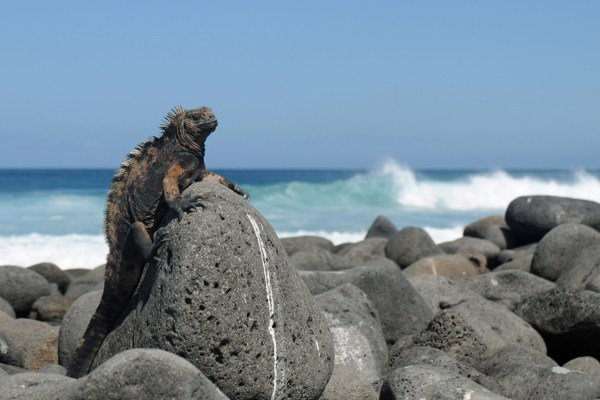 Marine iguana watching the humans, Galapagos Islands, Ecuador.