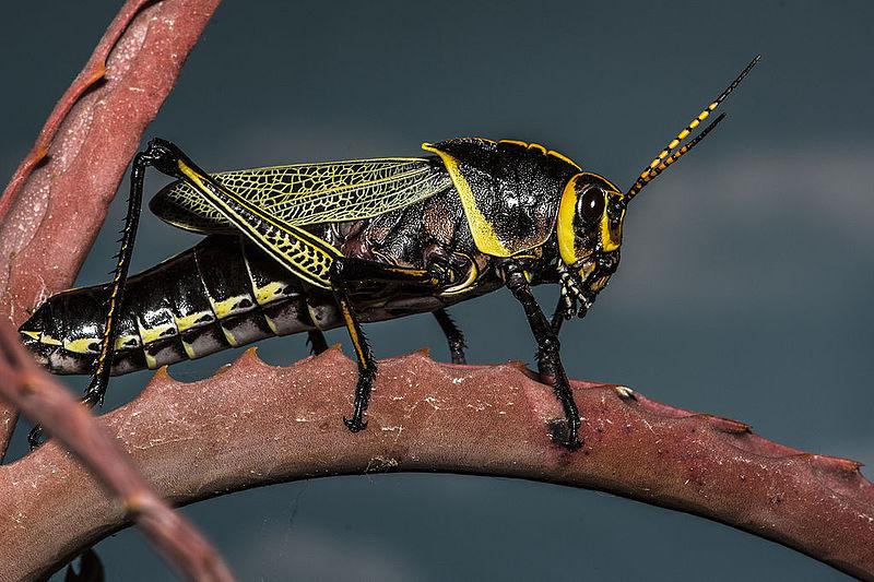 Horse_Lubber_Grasshopper_(Taeniopoda_eques)