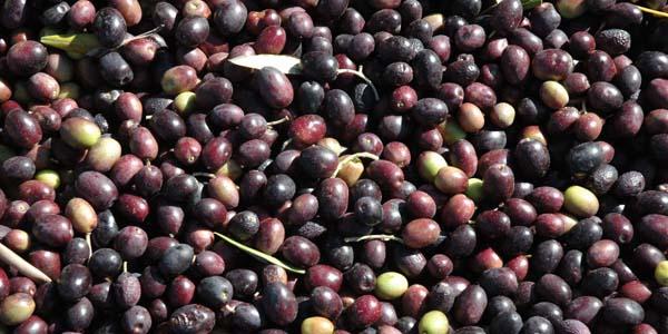 Freshly harvested olives