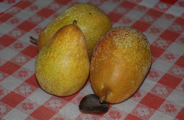 Warren pears at See Canyon Fruit Ranch in Avila