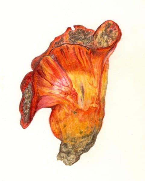 Hypomyces by Ann Goddard