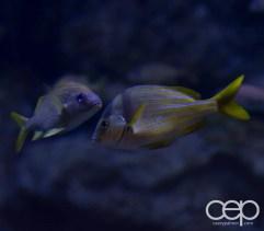 Shark Reef Aquarium at Mandalay Bay — French Gruntsgetting there...