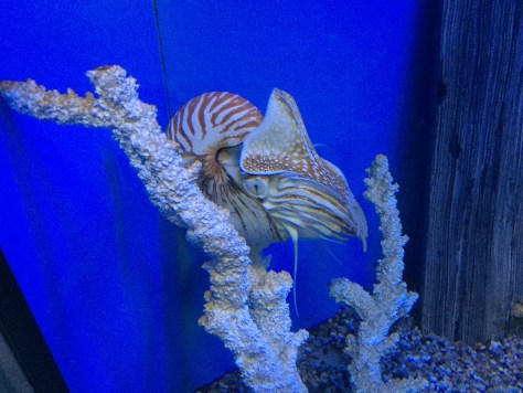 a giant Nautilus Pompilius at the Aquarium du Quebec
