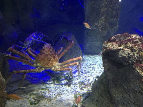 Japanese spider crab at Haus des Meeres in Vienna, Austria