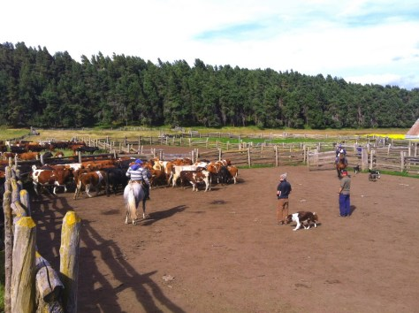 Jonathan's photo of Patagonian horsemen rounding up cattle for sale