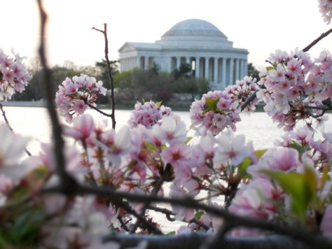 cherry blossoms with the Lincoln Memorial in the background, by FuninFairfaxVA