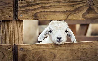 Resultado de imagem para Sheep to the slaughterhouse