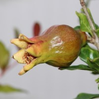 First Pomegranates
