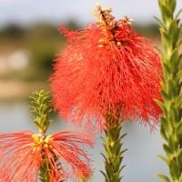 First Bottlebrush Flower