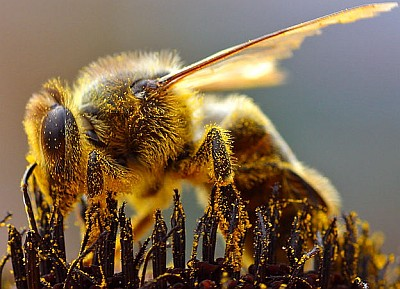 a bee collecting pollen; swiped from Wikipedia