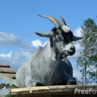 Is Goat's Milk Healthy for Your Pets?