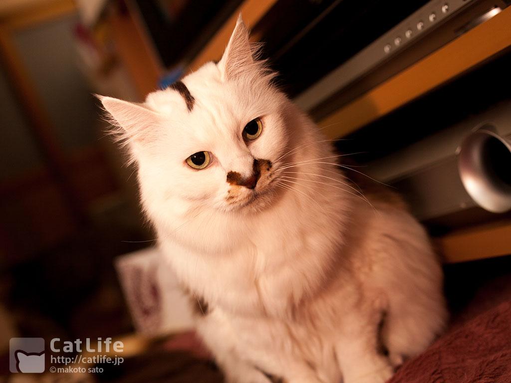 CatLife猫写真壁紙 2015年2月