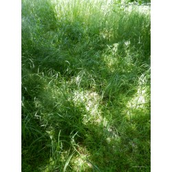 Small Crop Of Grass On Steroids