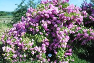 fleur-rosier1