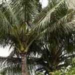 2014_0807_coconut