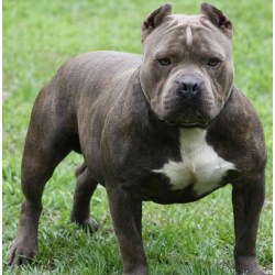 Small Crop Of How Long Do Pitbulls Live