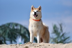 Splendid Akita Has Gained Worldwide Fame Thanks To Story A Dog Who Will Always Be Remembered His Displayof Most Dog Breeds That Are Fit C Wear
