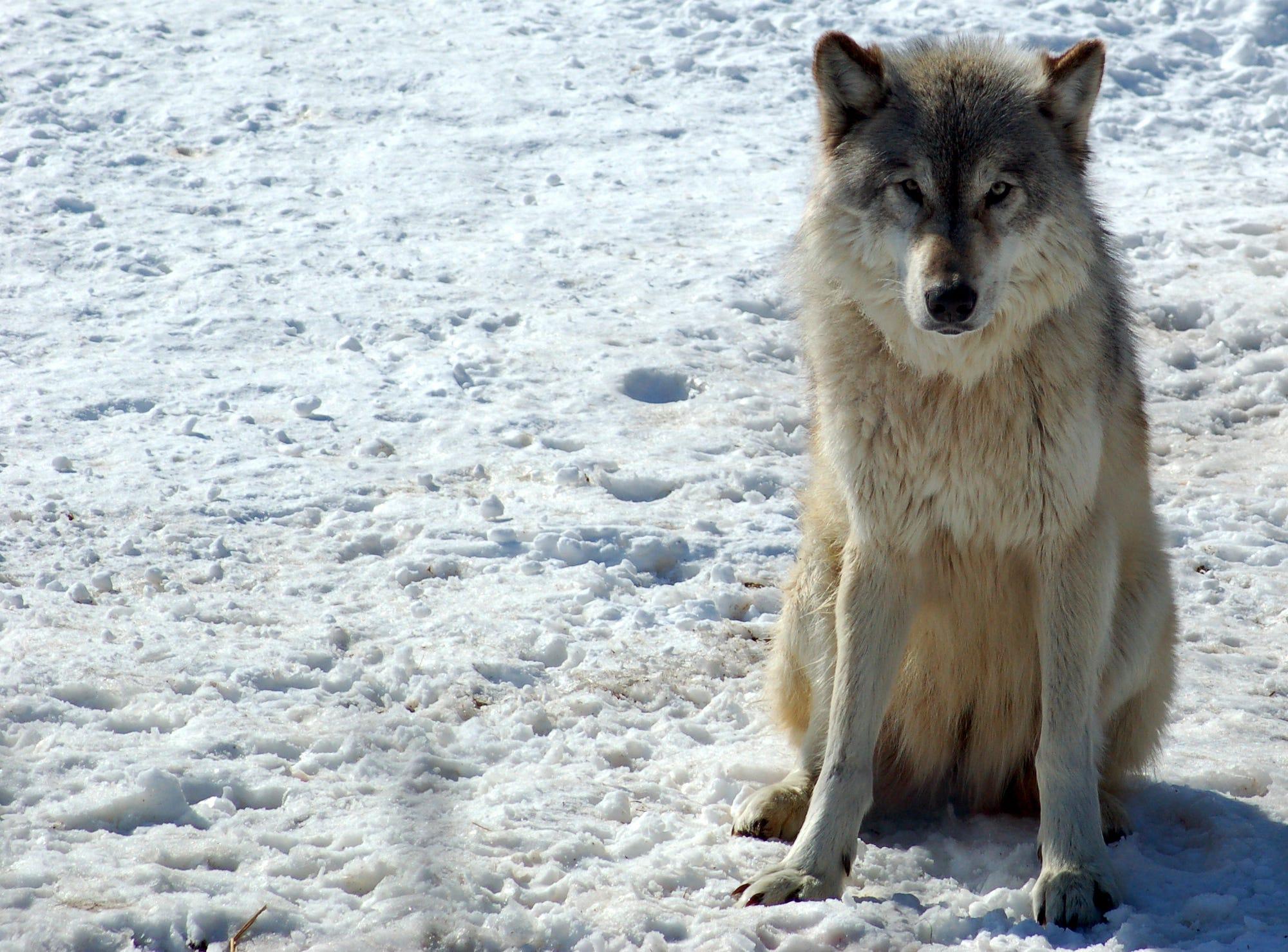 Fullsize Of Dog Vs Wolf