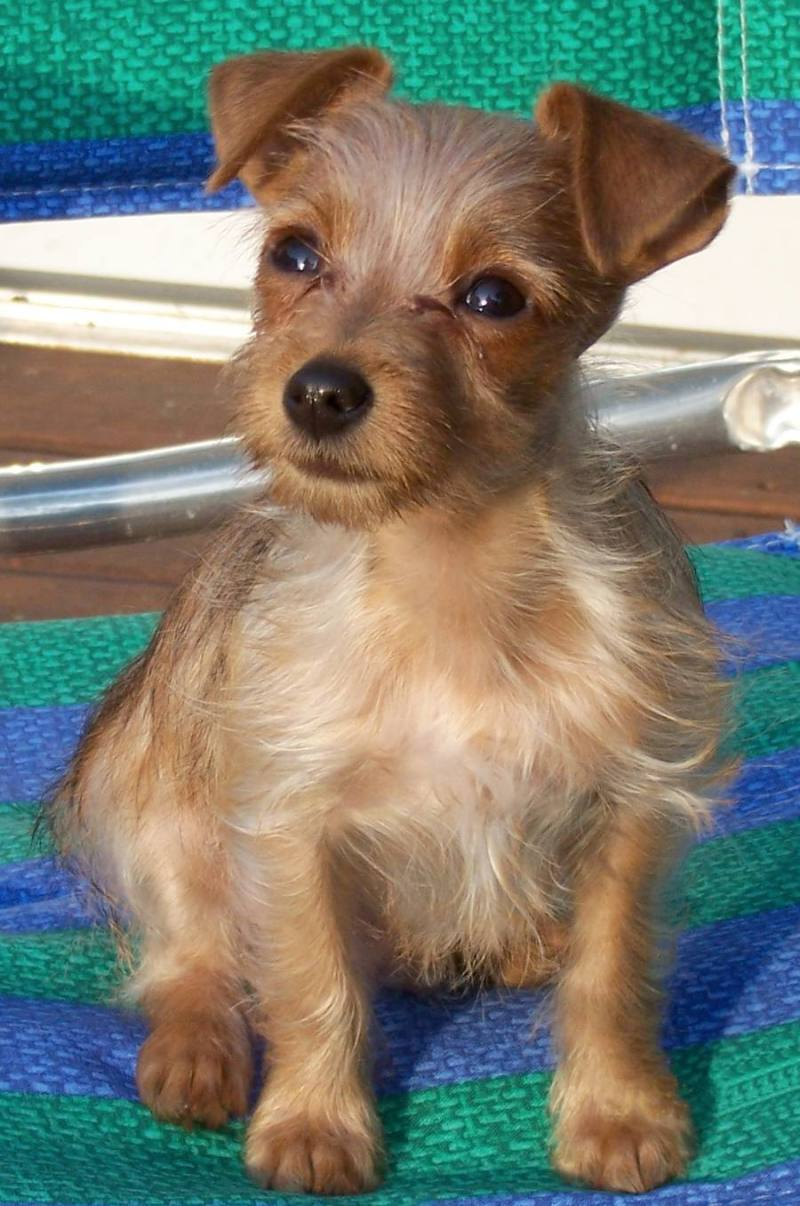 Large Of Dachshund Yorkie Mix