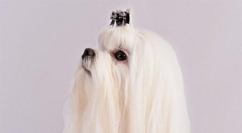 Cute Maltese Dog Breeds That Shed Giant Dog Breeds Large Shaggy Dog Breeds